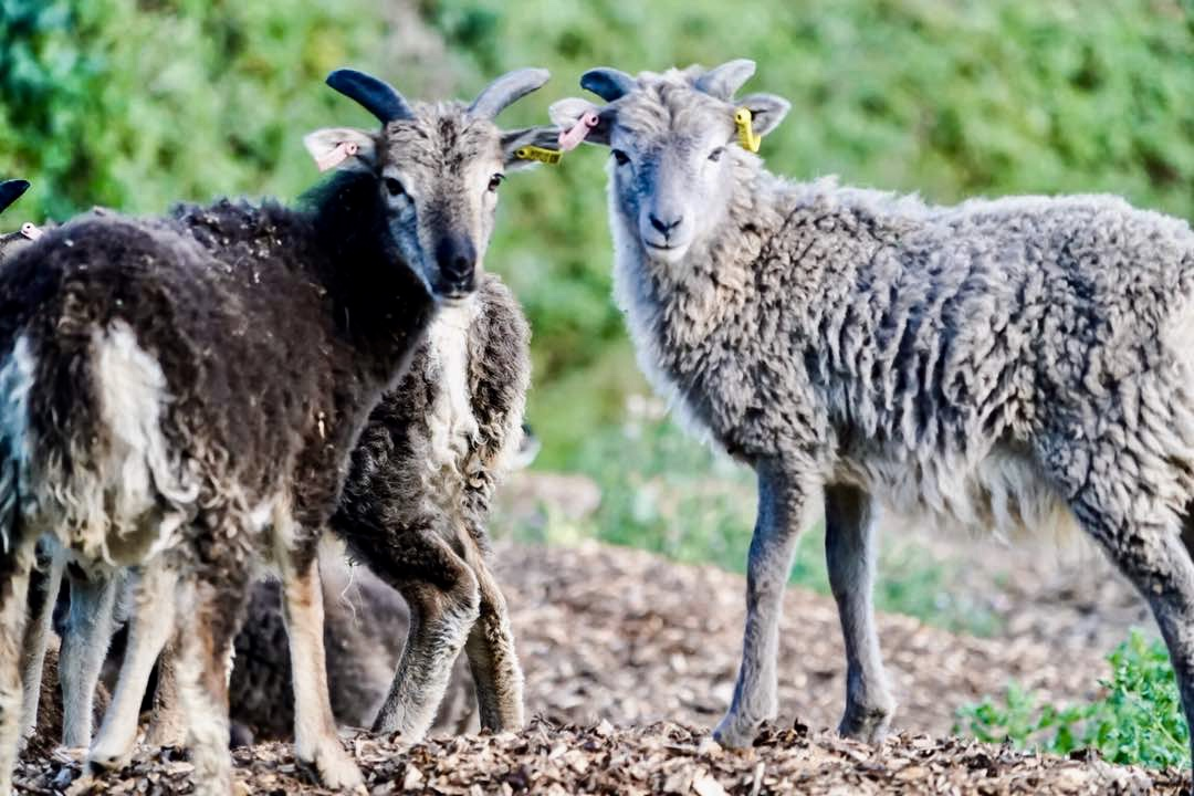 We now have 3 generations of lovely Soay sheep living in the field - very special animals!