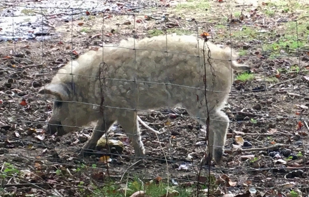 Mangalica wooly pigs in Capel