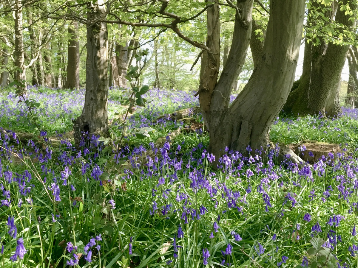 Bluebell walk, Horsham